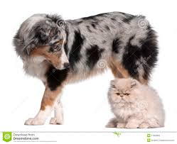 5 monate alter australian shepherd australian shepherd dog 6 months old stock photography image