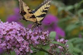 butterfly flowers can you cut back butterfly bushes in april with no sprouts home