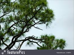 plants angle needle pine tree against sky stock photo