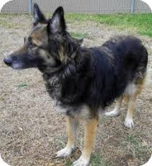 owning a belgian sheepdog molly adopted dog 18774138 lincolnton nc german shepherd