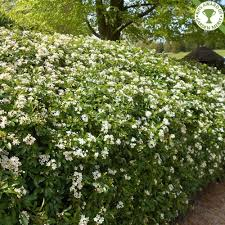 hedging plants budget wholesale nursery mexican orange blossom hedge plants green garden pinterest