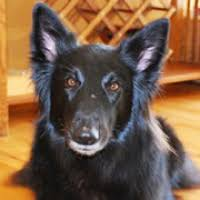 adopt a belgian sheepdog belgian sheepdog rescue u2015 animals for adoption u2015 rescueme org