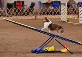 afghan hound agility 5 signs your dog is ready to try agility u2013 iheartdogs com
