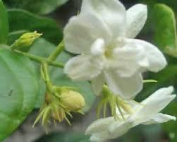 saguita the flower expert flowers encyclopedia