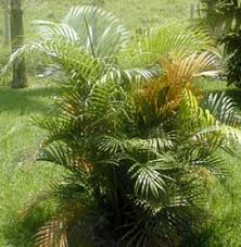 areca palm plant butterfly palm ornamental house plants