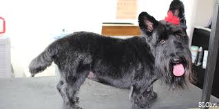 scottish yerrier haircuts meowser pet salon slcbri