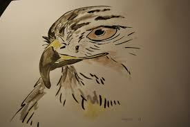 red tail hawk drawings u2026 sabicons