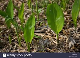 cana lilly new canna lilly plants sprouting from a mulched flower bed stock