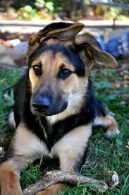 australian shepherd and golden retriever mix collie german shepherd golden retriever photo happy dog heaven
