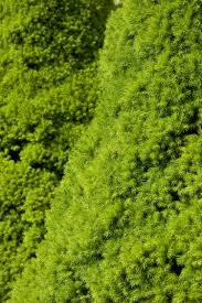 native plants alberta dwarf alberta spruce monrovia dwarf alberta spruce