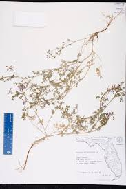 Map Of Pasco County Florida by Fumaria Officinalis Species Page Isb Atlas Of Florida Plants