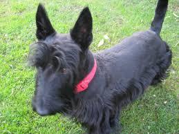 scottish yerrier haircuts haircuts scottishdogs blog