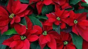 how to treat the christmas star or poisensettia flower pey art