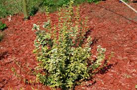 shrubs with golden foliage gold mops false cypress