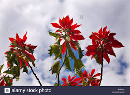 poinsettia tree poinsettia tree against blue sky morelia mexico poinsettias in