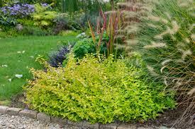 arbuste feuillage pourpre persistant arbustes