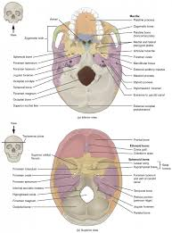 Nose Anatomy And Physiology The Skull Anatomy And Physiology