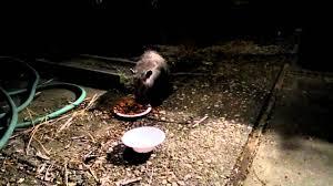 Possum In My Backyard Possum Eating Cat Food In My Back Yard At Night Youtube
