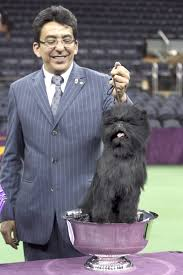 affenpinscher youtube westminster dog show 2013 banana joe puts his breed on the map