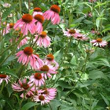 echinacea flower echinacea flower essence flower essences flower remedies