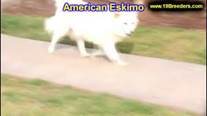 american eskimo dog jack russell mix american eskimo puppies dogs for sale in anchorage alaska ak