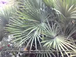 mediterranean fan palm tree chamaerops humilis mediterranean european fan palm youtube