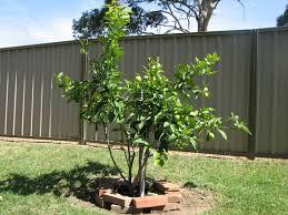 lemon eureka tree citrus limon
