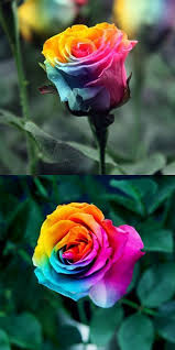 different color roses 81 best rainbow roses images on rainbow roses