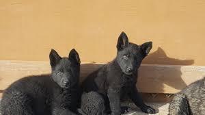 belgian sheepdog groenendael rescue female black german shepherd puppies sold in hoobly classifieds
