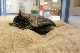 volunteer opportunities on long island longisland com a shelter cat taking a nap photo by sande hamilton via free images