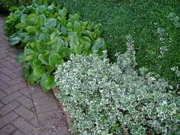 Euonymus Topiary Make Life Easier With Ground Cover Plants In Your Garden Cleeve