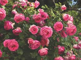 pink and roses climbing roses plants