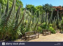 Ventnor Botanic Gardens Tree Echium Ventnor Botanic Gardens Isle Of Wight Uk Stock