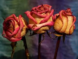 dried roses the best ways to preserve your flowers popular science