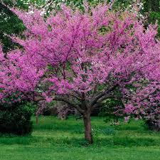 29 best flowering trees images on flowering trees