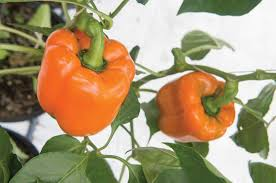 sympathy f1 pepper seed johnny u0027s selected seeds