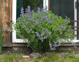 native plants illinois blue false indigo plant google search native plants in md