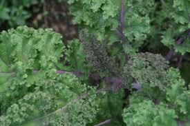 grow kale plants in your garden