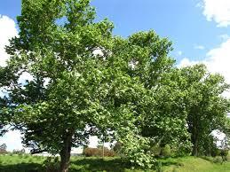daleys fruit tree plane trees