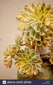 close up high angle view of yellow and green succulents plants in