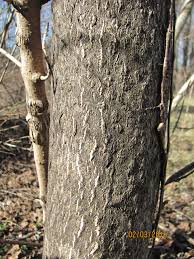indiana woodland steward managing tree of heaven ailanthus