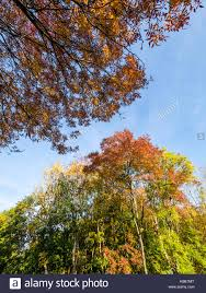 autumn trees outskirts of reading berkshire stock photo