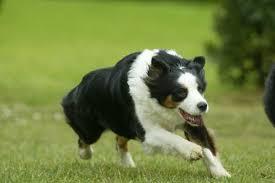 incrocio border collie x australian shepherd il vero standard dell u0027 australian shepherd ti presento il cane