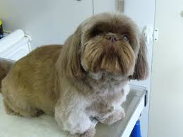 haircuts for shih tzus males shih tzu dog grooming by angela s pet styling mobile grooming
