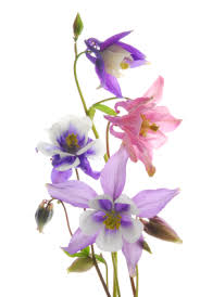 columbine flowers interesting facts about columbine flowers
