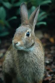 like a bunny new england cottontails the thicket of survival the field notebook