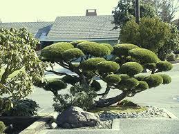 japanese garden tree pruning japanese botanical u0026 bonsai design