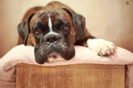 dogs and snoring is it cause for concern pets4homes