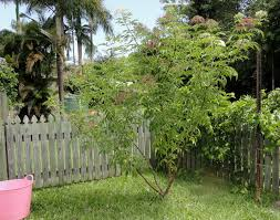growing elder flowers for drinks down to earth