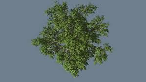 alaska cedar crown top tree is swaying at the wind tree